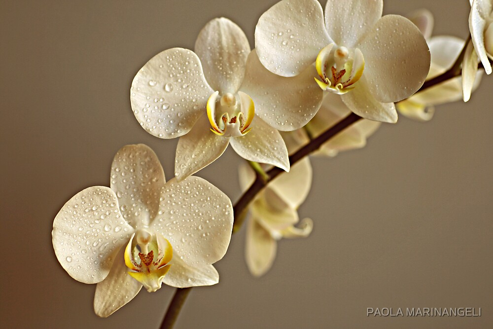 Romantic Orchids by PAOLA MARINANGELI