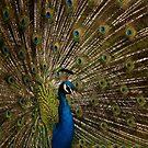 Peacock by Martyn Robertshaw