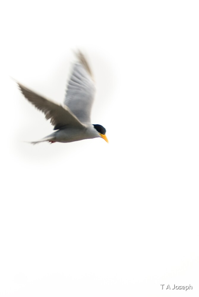 River Terns by T A Joseph