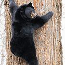 Coming Down - Black Bear by akaurora