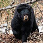 Focused - Black Bear by akaurora