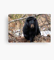 Focused - Black Bear Canvas Print