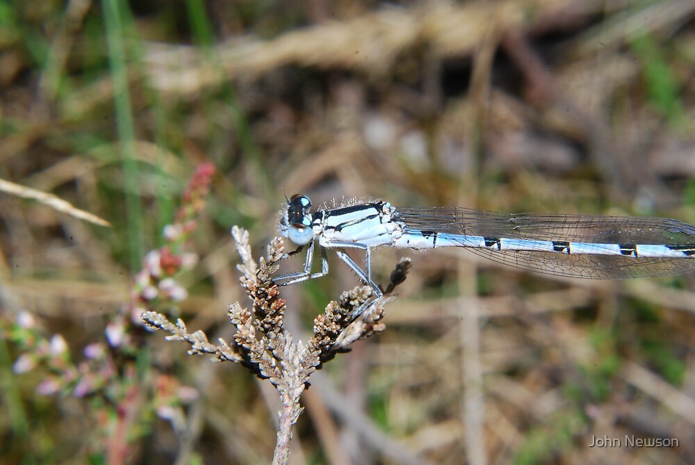 Blue Damsellfly by John Newson
