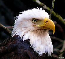 Portrait Of An Eagle III  by Gail Bridger