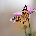 Painted Lady 2017-1 by Thomas Young