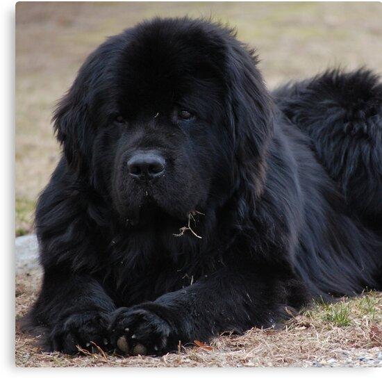 Newfoundland Dog by Balzac