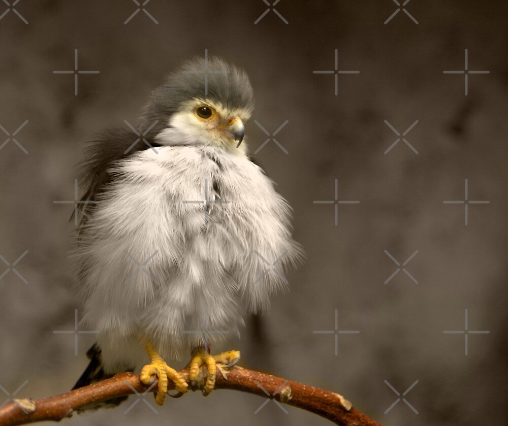 African Pygmy Falcon by Lisa G. Putman