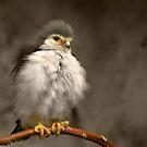 African Pygmy Falcon by Lisa G. Putman
