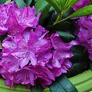 Vibrant Rhododendron Blossoms by Kathryn Jones