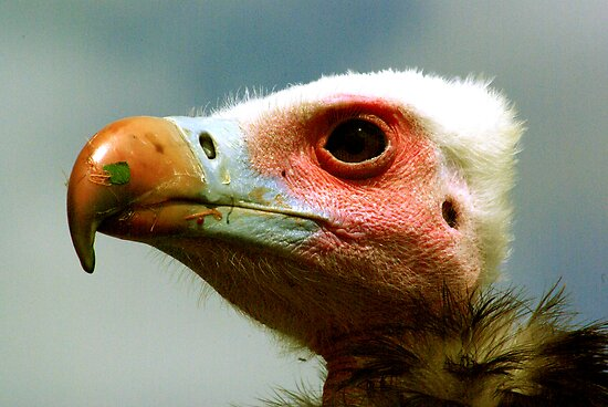 Ethel the Vulture 1 by Trevor Kersley
