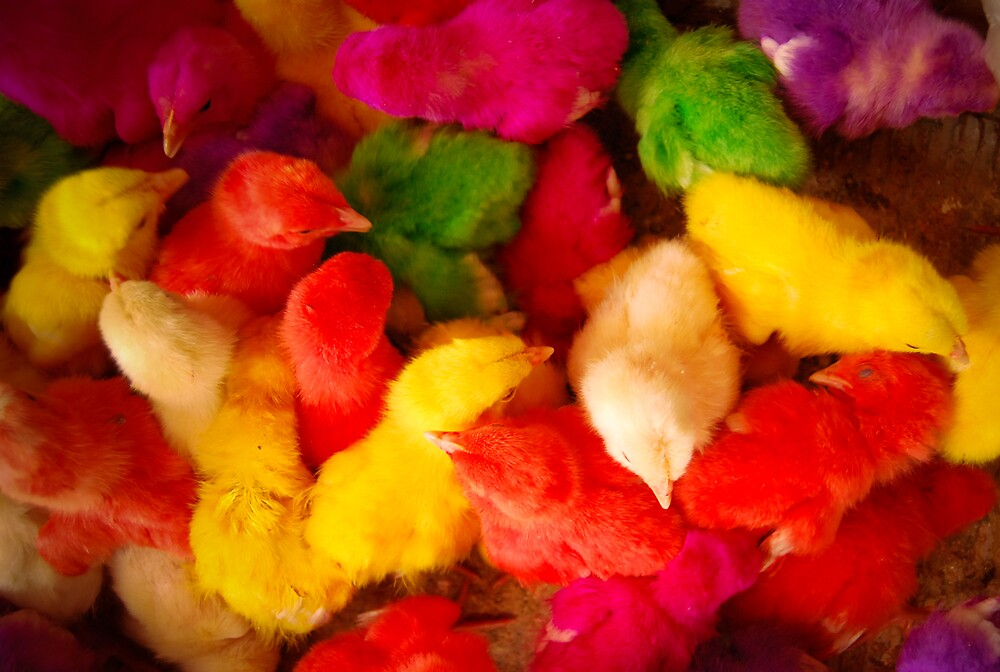 Dyed chicks of Esfahan, Iran. by Desmond Kavanagh
