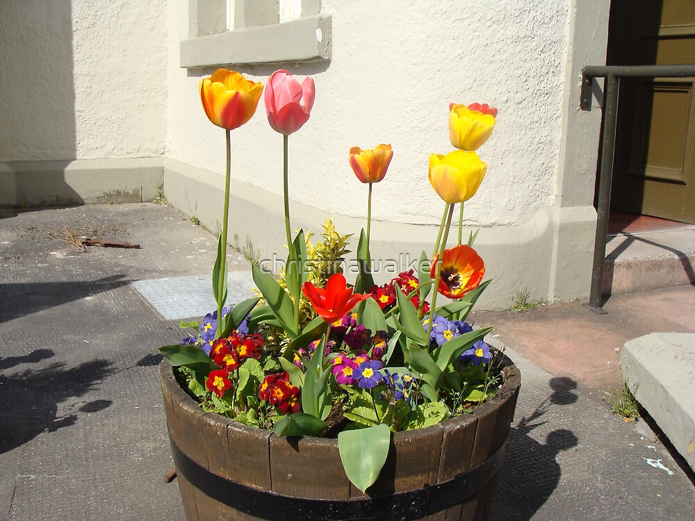 Tulips by christinawalker