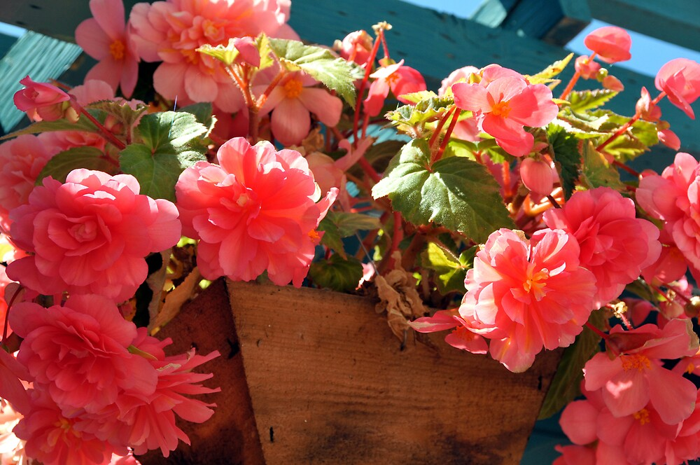 Begonia Ambrosia by LorrieM