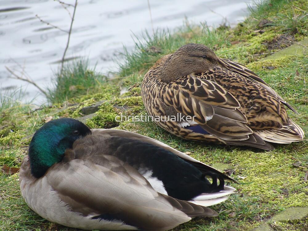Ducks sleeping by christinawalker