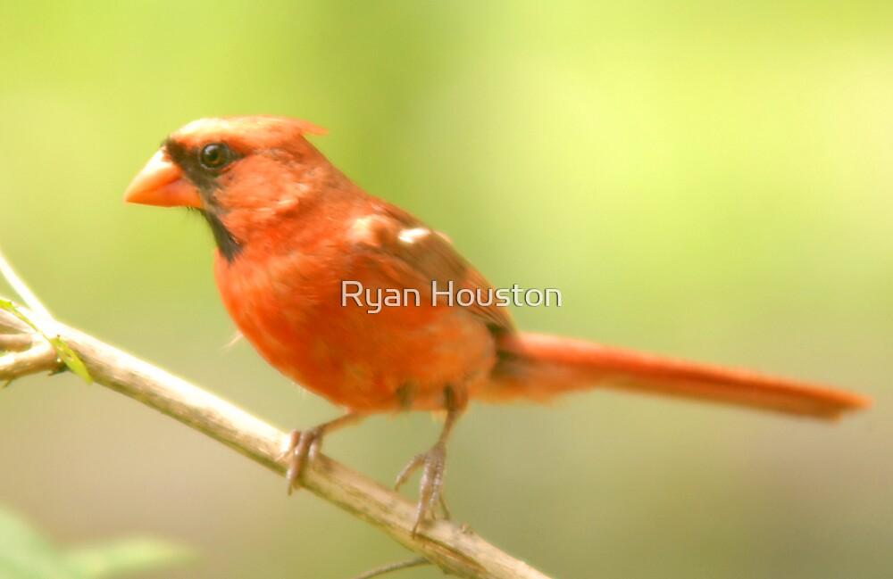 Male Cardinal by Ryan Houston