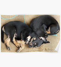 Kelpie Puppies Poster