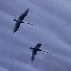 Swans in flight by Robin Simmons