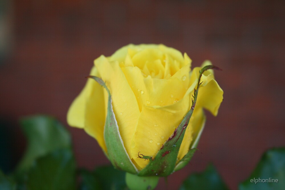 yellow rose cheer by elphonline