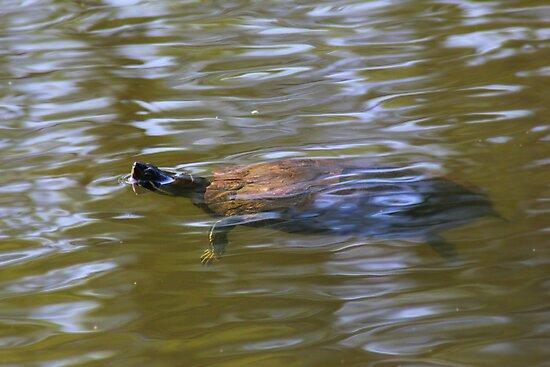 turtle swimming at Trojan pond, near Goble, Oregon 2 by Dawna Morton