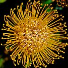 Leucospermum Flower by Penny Smith