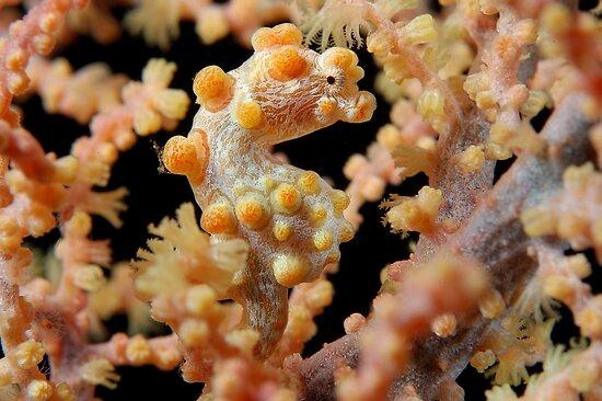 Pretty Pygmy by MattTworkowski