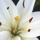 Lily So Fair by Stephen Thomas