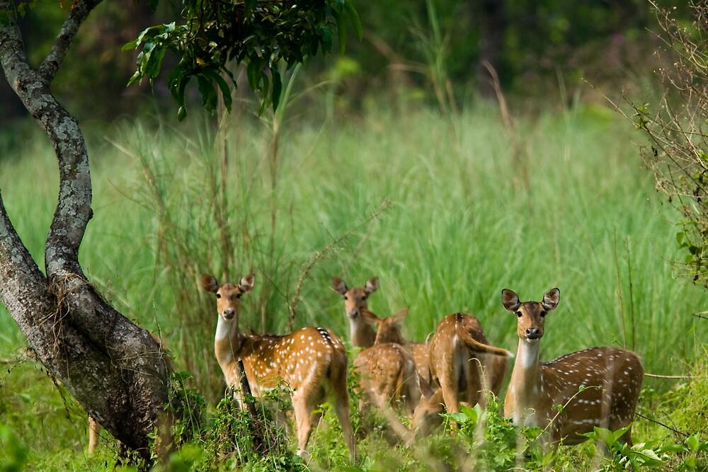 Deers in Chitwan National Park, Nepal by Olivier Lance