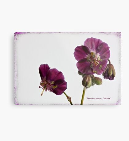 "Geranium phaeum ""Samobor"" Metal Print"