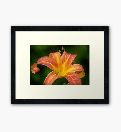 Tiger Lilly - zoom Framed Print