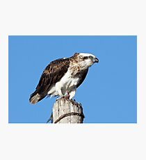 Osprey ~ Table for One Photographic Print