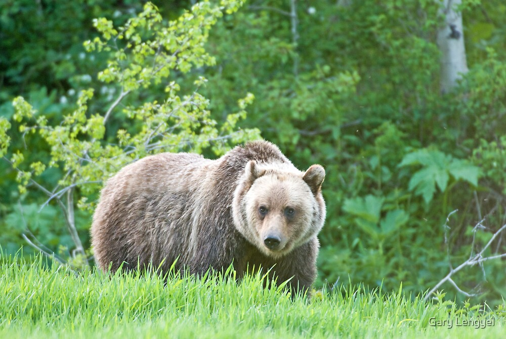 Grizzly Bear, Glacier National Park by Gary Lengyel