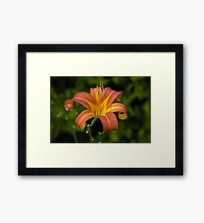 Tiger Lilly Framed Print