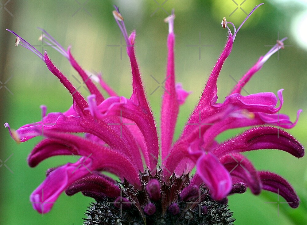 Floral Crown (Bee Balm) by mikrin