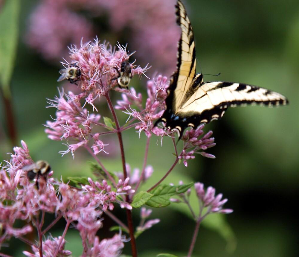 Tiger Swallowtail Butterfly by Tara Johnson