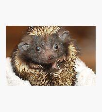 Hedgehog with Big Ears Photographic Print