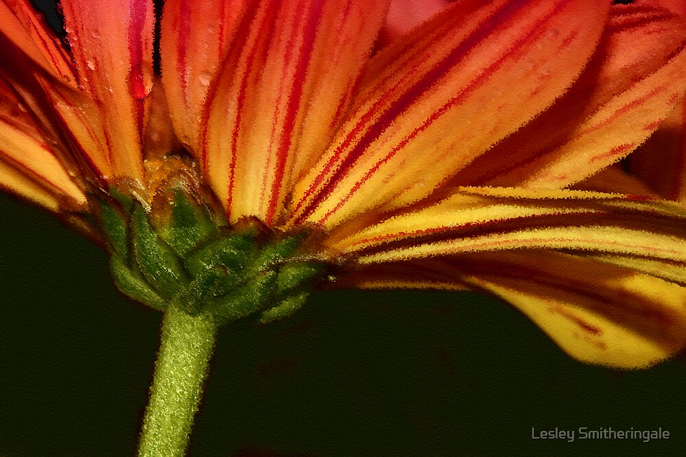 Striped Sunset Petals by Lesley Smitheringale