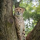 Cheetah on the lookout by Stephen Liptrot
