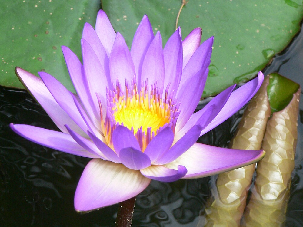 Water Lily by Sian Perry