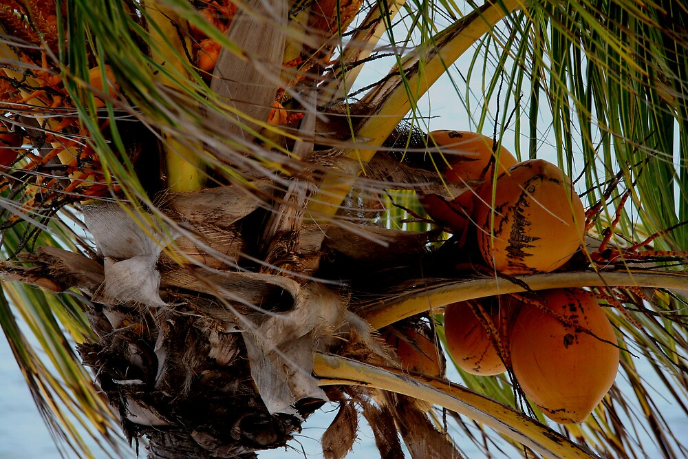coconuts by Millicent Macfarlane