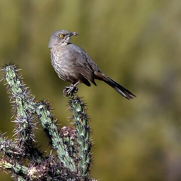 Curve-billed Thrasher by djm4