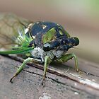 Cicada by FrankieCat