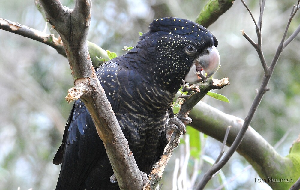 Red Tailed Black Cockatoo by Tom Newman