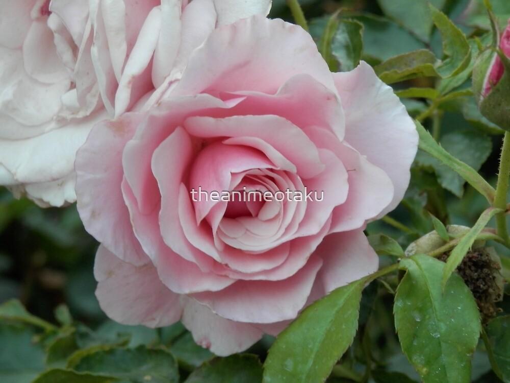 Pink Rose - 1 by theanimeotaku