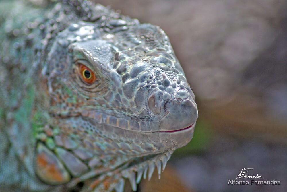 Iguana by Alfonso Fernandez