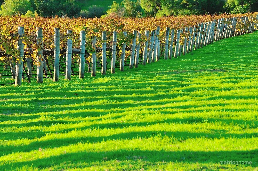 vineyard in early autumn by metriognome
