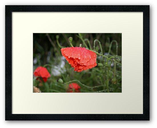 Wet Poppy by weallareone