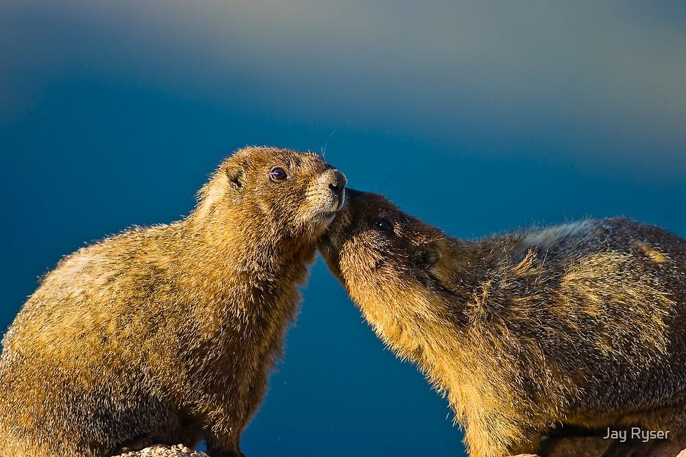 STOCK-Smooching Marmots by Jay Ryser