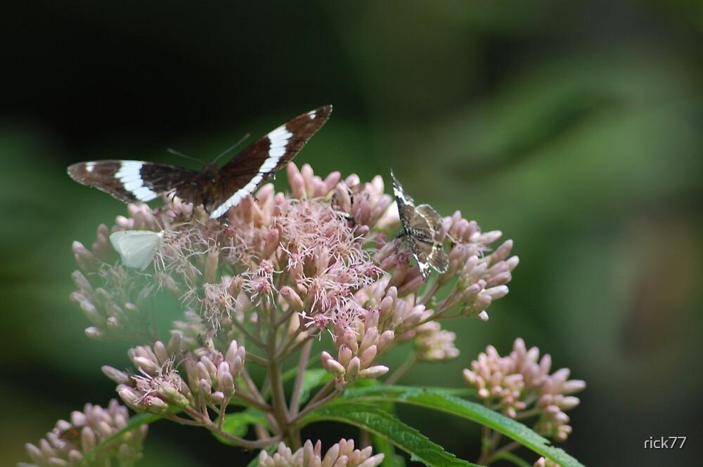 Butterflies by rick77