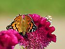 Painted Lady Butterfly by FrankieCat