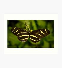 Zebra Heliconian Art Print
